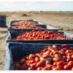 big-crates-with-tomatoes